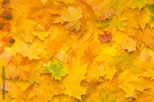 Autumn background with fallen yellow maple leaves on ground Fototapeta