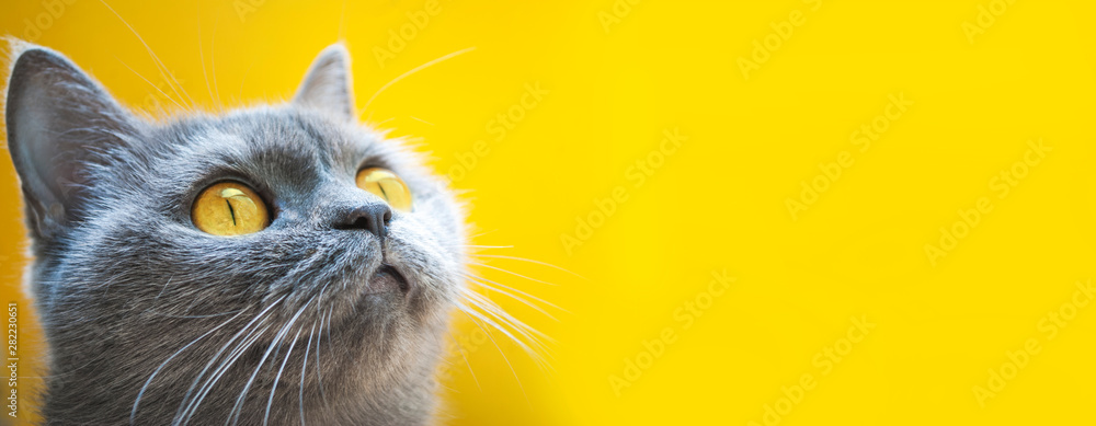 Fototapety, obrazy: gray cat on a yellow background with yellow eyes close-up