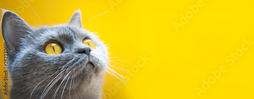 Obraz gray cat on a yellow background with yellow eyes close-up - fototapety do salonu