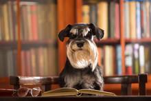 Cute Miniature Schnauzer Dog Reads A Book In The Library