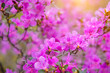 Leinwanddruck Bild - Gently pink flowers close-up, floral background, macro. The shrub is strewn with small purple flowers.