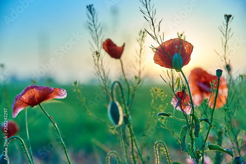 Red poppies wildflowers in the field in the morning - 282243297