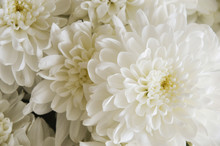 White Chrysanthemum. Bouquet Of White Flowers. Background For Postcards.