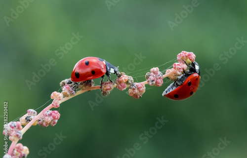 Macro of ladybug on a blade of grass in the morning sun Tableau sur Toile