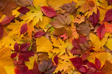 Colored Pillow Of Fresh Fallen Autumn Leaves