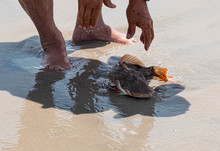 Sea Robin Fish Being Let Go On The Beach