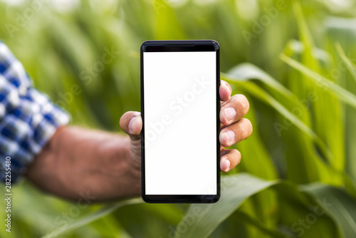 Canvas-taulu Close up phone a corn field mock-up