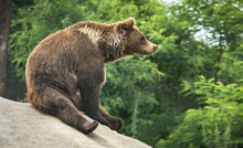 Great Brown Bear Sitting On A Hill