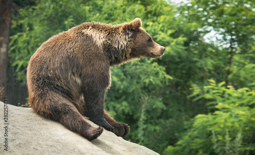 Fotografia  Great brown bear sitting on a hill