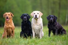 Four Labrador Retriever Dogs O...