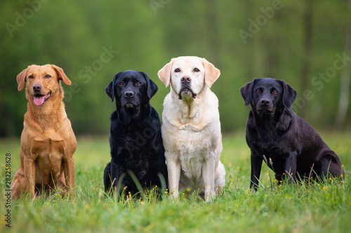 Fotografering Four Labrador Retriever dogs on a meadow