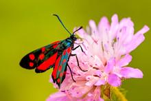 Six-spot Burnet On A Flower Of...