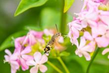 Hummingbird Hawk-moth On A Flower Of A Soapwort