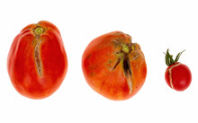 Three Split, Cracked Tomatoes Due To Rain After Drought, Gardening Problem. Isolated On White.