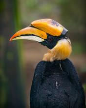 Great Hornbill Bird Buceros Bicornis,