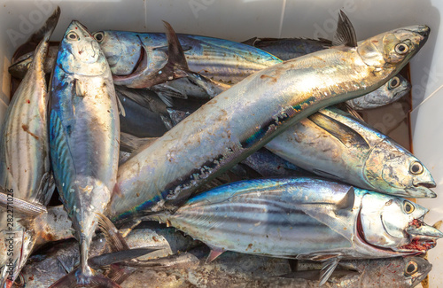 Photo The catch of the day - albacore and bluefin tuna, wolf herring caught trolling on sailing yacht in Thailand