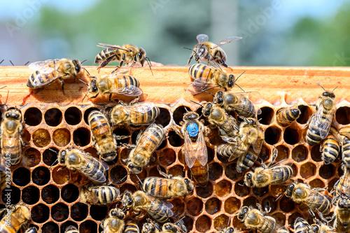 blue mark queen Bee working Honey bees beehive Wax Frame beekeeping Canvas Print