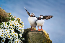 Puffins In Iceland. Seabirds O...