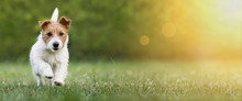 Active Happy Pet Dog Puppy Running In The Grass In Summer, Web Banner With Copy Space