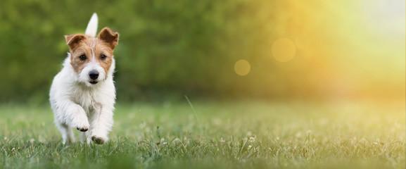 Aktywny szczęśliwy zwierzę domowe psa szczeniaka bieg w trawie w lecie, sieć sztandar z kopii przestrzenią