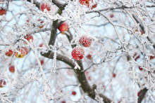 Frosted Apples On The Tree