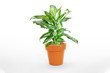 Dieffenbachia or dumbcane isolated on white background in flower pot.