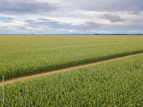 Aerial drone view of Cornfield and dirt road in clear summer day Fototapet