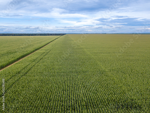 Fotografija  Beautiful drone aerial view of Cornfield in clear summer day