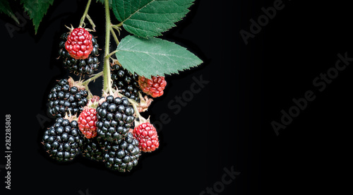 Branch of blackberries, ripe and unripe, with leaves, isolated on black background Tapéta, Fotótapéta