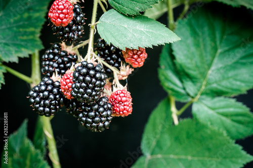 Valokuvatapetti Branch of blackberries, ripe and unripe, with leaves, on black background
