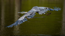 Great Blue Heron On The Pond
