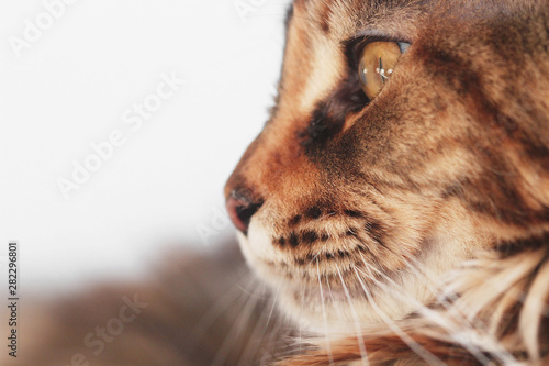 Fototapety, obrazy: close up of a Maine Coon can face from profile on white background with copy space