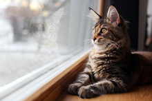 Portrait Of A Beautiful Adorable Young Maine Coon Kitten Cat Sitting On A Window Sill