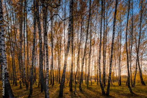 Bosquet de bouleaux Birch forest in a sunny golden autumn day.