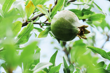 Young Green Pomegranate Grows On A Tree. Harvest Ripening, Ripening Pomegranate. Macro.