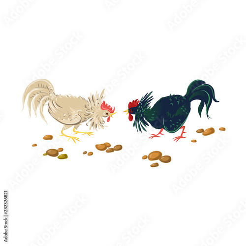Battle of two farm roosters, white and black color Tablou Canvas