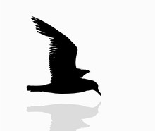 Seagull Flying Over Water, Silhouette