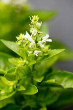 Flower Blossoming Basilicum Ma...