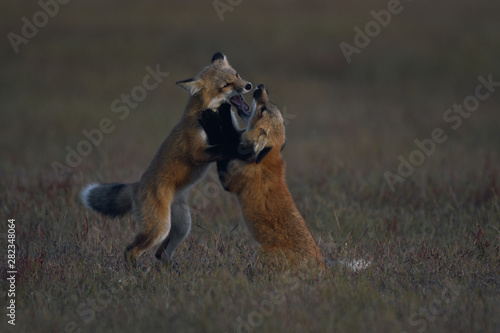 Young Red Foxes Playing on the Prairie Canvas-taulu