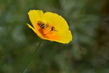 California Poppy Bee 01