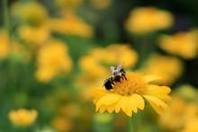 Yellow Gaillardia, Blanket Flo...