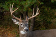 Buck white tailed deer with large antelers