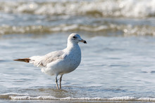 Close Up Of A Lone Seagull Walking On The Beach With The Atlantic Ocean Tide Coming In