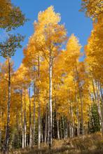 Beautiful Aspen Trees In Autumn