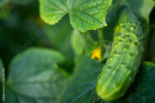 Fototapeta Green cucumber on garden. Cucumber ripen on garden obraz