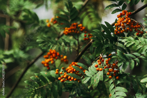 Photo Branches with red Rowan berries and green leaves in the wild