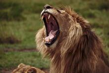Portrait Of A Yawning Lion