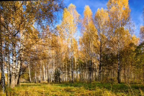 Foto op Plexiglas Panoramafoto s Birch forest on a clear autumn day.