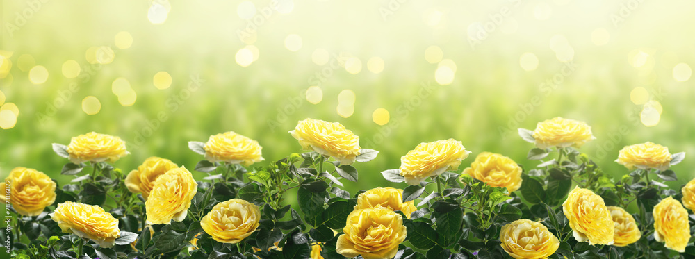 Fototapety, obrazy: Mysterious spring or summer background  in pastel colors with blooming yellow roses flowers blossom and glowing sparkle bokeh