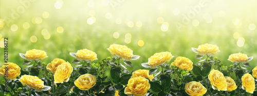 Montage in der Fensternische Melone Mysterious spring or summer background in pastel colors with blooming yellow roses flowers blossom and glowing sparkle bokeh
